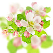 Apple flowers. spring blossom design — Stock Photo