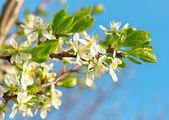 çiçek açması elma ağacı üzerinde mavi gökyüzü beyaz çiçekli — Stok fotoğraf