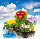 Spring flowers hyacinth, crocus and primula over blue sky — Stock Photo