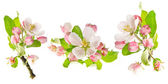 Apple tree spring blossoms isolated on white — Stock Photo