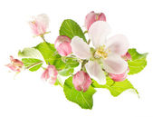 Spring blossoms. apple tree flowers — Stock Photo