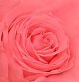 Soft fresh pink rose — Stock Photo