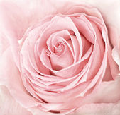 Close-up of fresh pink rose — Stock Photo