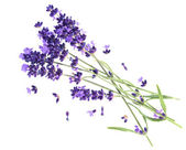 Lavender flowers isolated on white — Stock Photo