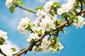 白花朵朵苹果树 — 图库照片