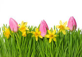 Fresh spring narcissus and tulip flowers in green grass — Stock Photo