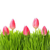 Fresh red tulips in green grass — Stock Photo