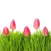 Tulipanes rojos frescos en hierba verde — Foto de Stock