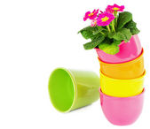 Beautiful primula flowers in colorful buckets — Stock Photo