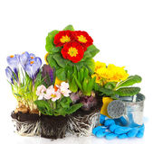 Spring flowers primula, crocus and hyacinth on white background — Foto Stock