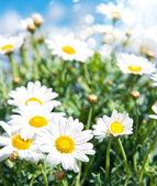 蓝蓝的天空背景上的雏菊花 — 图库照片
