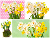 White and yellow narcissus flowers — ストック写真