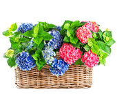 Beautiful hortensia on white background. colorful hydrangea in b — Stock Photo