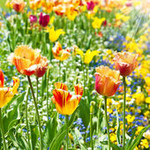 Colorful spring tulip flowers — Stockfoto