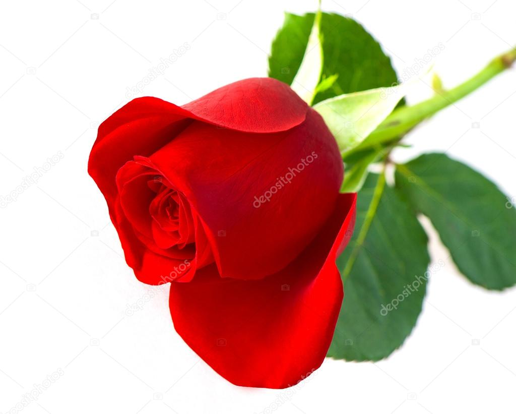 Single Red Rose Flower Stock Images