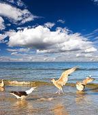 Чайка на пасмурное небо море, синий. Типичная сцена в Бельцах — Стоковое фото