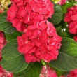 Stock Photo: Closeup of beautiful hortensia flowers bouquet