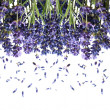 Bunch of fresh lavender flowers on white — Stock Photo