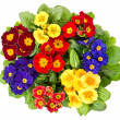 Multocolor primula flowers isolated on white — Stock Photo