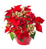 Christmas flower poinsettia with golden decoration — Stock Photo