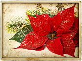 Red poinsettia flower with christmas tree branch — Stock Photo
