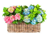 Colorful blue and pink hydrangea bushes — Stock Photo