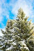 Sneeuw overdekte pijnboom over zonnige blauwe hemel — Stockfoto