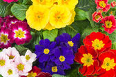 Assorted spring primulas. colorful flower bed — Stock Photo