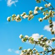 Blossoming apple tree over blue sky background — Stock Photo