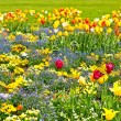 Stock Photo: Colorful tulips on flowerbed. outdoors garden