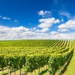 Vineyard landscape with cloudy blue sky — Stock Photo