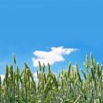 Grain field over blue sky — Stock Photo