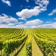 Beautiful vineyard landscape with cloudy blue sky — Stock Photo