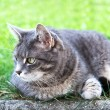 Stock Photo: House cat on the grass