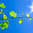 Branch of grape vine on sunny blue sky — Stock Photo