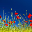 Poppies on blue sky — Foto de Stock