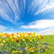 Tulip flowers field on blue sky background — Stock Photo