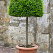 Shaped box tree in pot — Stock Photo