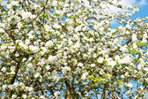 Blossoming apple tree on blue sky background — Stockfoto
