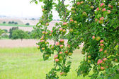 Green apples on the tree — Stock Photo