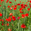 Poppy flowers. green field — Stockfoto