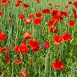 Poppy flowers. green field — Stock fotografie