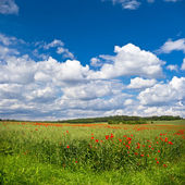 Field of poppies with blie sky — Stock Photo