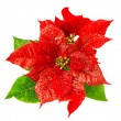 Red poinsettia blossomwith green leaves - Stock Photo