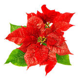 Red poinsettia blossomwith green leaves — Stock Photo