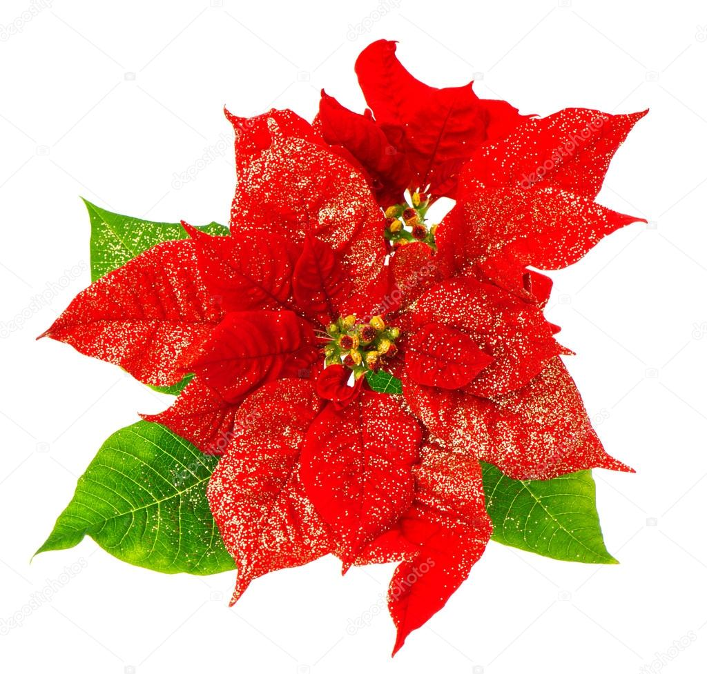 Red Poinsettia Blossomwith Green Leaves Stock Photo