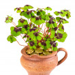 Pot with four leaf clover plant - Stock Photo