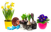 Spring flowers hyacinth, narcissus and primroses — Stock Photo