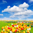 Stock Photo: Tulip flowers field. spring landscape