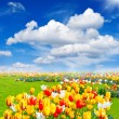 Tulip flowers field. spring landscape — Stock Photo #18453473